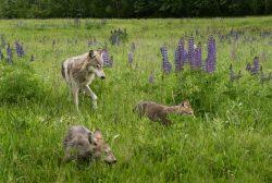 Wolf mit Jungtieren