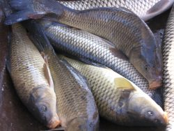 Symbolbild zur Überfischung der Meere: Karpfen kann man essen